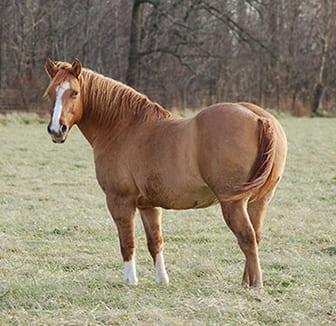 Übergewichtiges Pferd auf der Weide