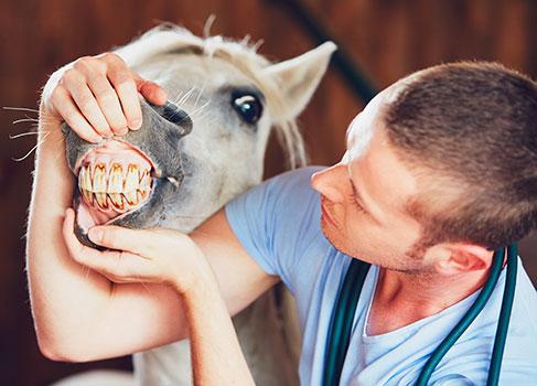 Kontrolle des Pferdegebisses