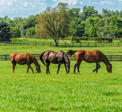 Pferde fressen Weide