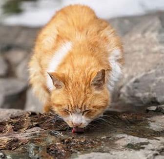 reinkende Katze