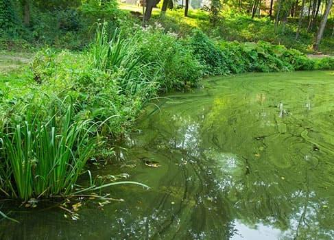Teich mit Blaualgen