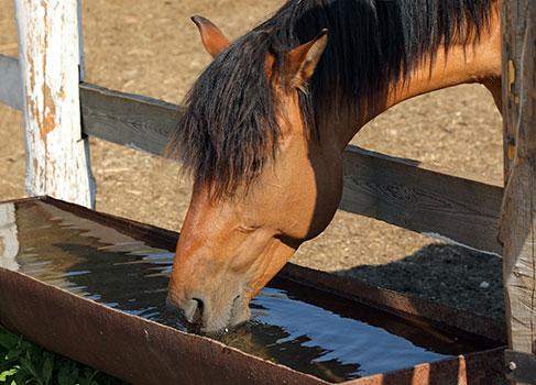 trinkendes Pferd