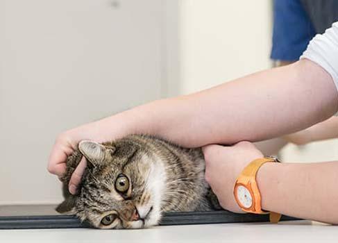Katze wird behandelt