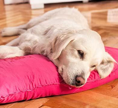 Hund liegt mit seinem Kopf auf einem Kissen