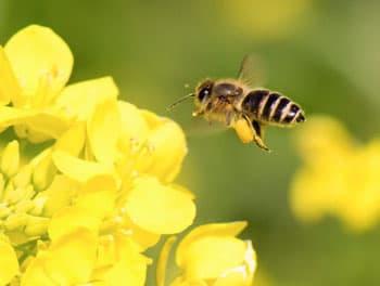 Biene an der Blüte