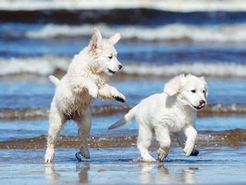 Zwei Hunde spielen am Meer