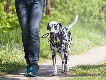 Der Hund trägt seine Leine selber beim Spaziergang