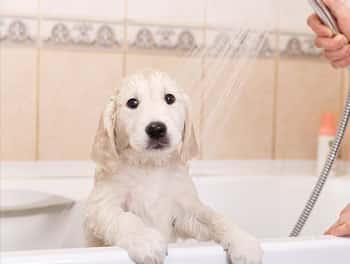 Kleiner Hund wird in der Badewanne abgeduscht