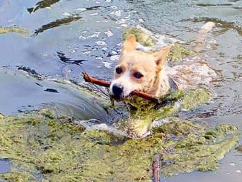 Hund schwimmt im See zwischen Blaualgen