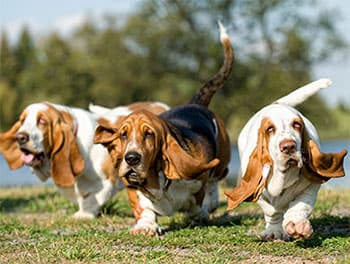 Drei Hunde auf der Wiese