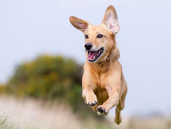 Hund rennt ausgelassen über die Wiese