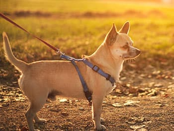 Hund an der Leine beim Spaziergang