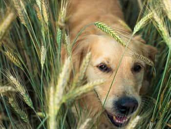 Hund streift durch das Kornfeld