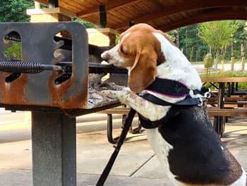 Hund schnüffelt am Grill