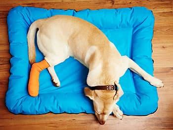 Hund liegt mit gebrochenem Knochen auf seinem Kissen
