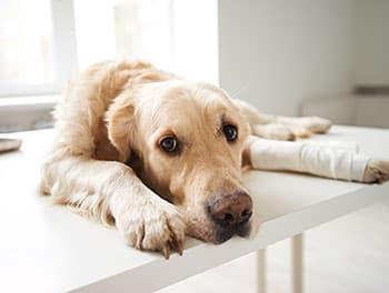 Hund mit Kreuzbeinriss beim Tierarzt