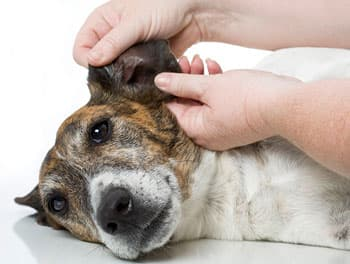 Der Tierarzt untersucht die Ohren beim Hund