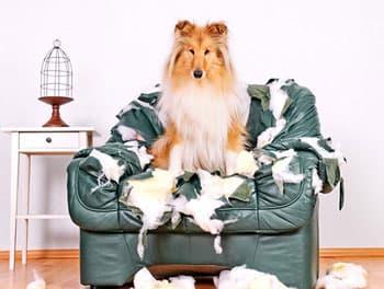 Hund sitzt auf dem zerfetzten Sessel