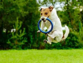 Tauber Hund spielt mit dem Reifen auf der Wiese