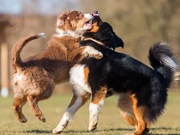 Kämpfende Hunde auf der Wiese