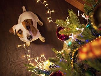 Hund sitzt unter dem Weihnachtsbaum