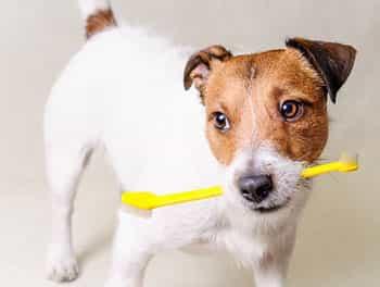 Kleiner Hund mit Zahnbürste im Maul
