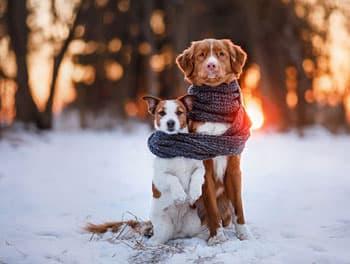Hunde mit Schal im Schnee