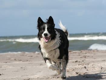 Hund rennt über den Starnd