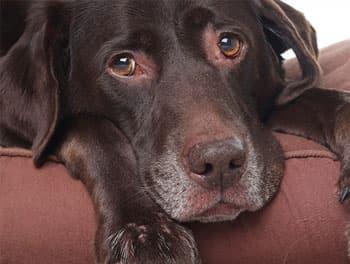 Kranker Hund liegt auf dem Kissen
