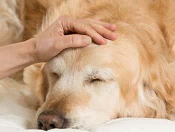 Schlafender, alter Hund wird gestreichelt
