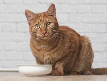 Katze sitzt vor dem Gutternapf