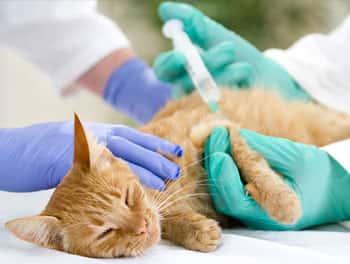 Katze bekommt eine Spritze vom Tierarzt