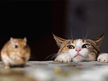 Katze beobachtet eine Maus