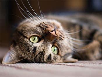 Katze liegt auf dem Teppich