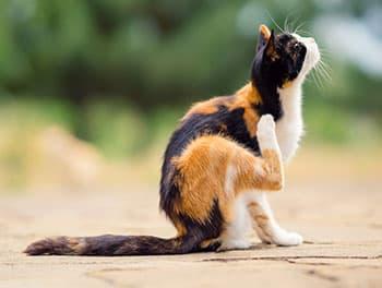 Die Katze kratzt sich