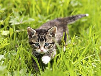 Kätzchen läuft durch das Gras
