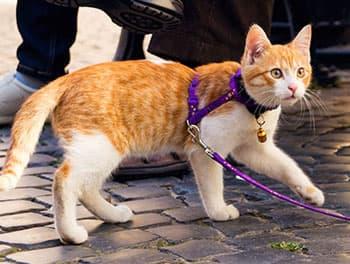 Katze mit Leine beim Spaziergang