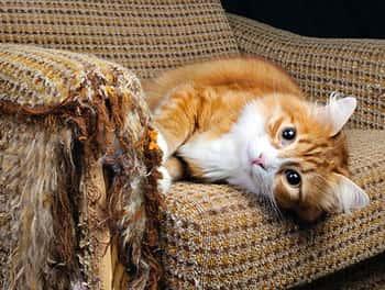 Katze liegt auf dem zerkratzten Sessel