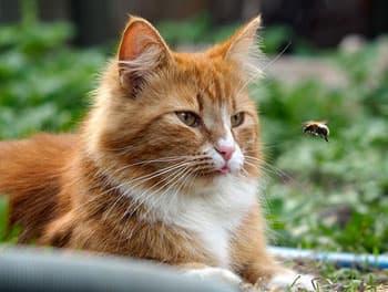 Katze liegt im Gras und beobachtet eine Biene