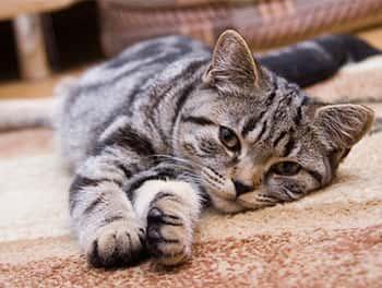 Die Katze räkelt sich auf dem Teppichboden