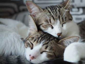 Zwei Katzen schlafen aneinander gekuschelt