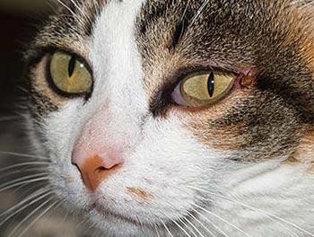 Katze mit Zecke am Augenwinkel