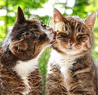 Katzen zusammenführen – Tricks und Tipps