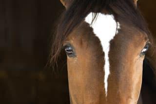Der Kopf eines Pferdes