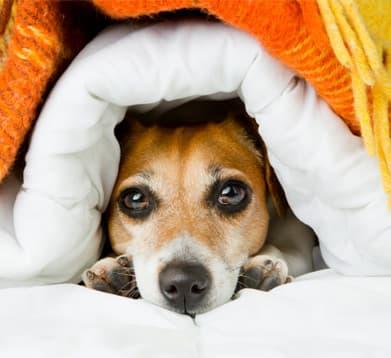 Hund erholt sich nach der Operation