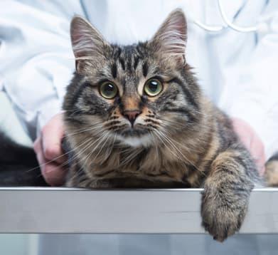 Katze in Behandlung