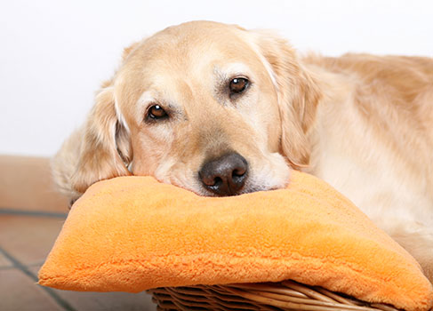 Hündin liegt auf dem Kissen