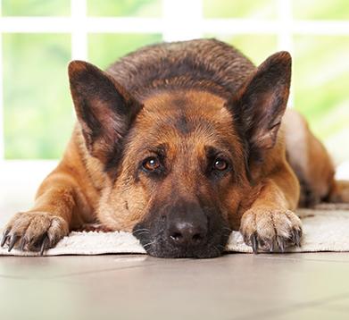 Schäferhund liegt auf dem Boden