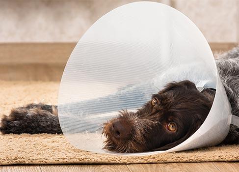 Hund mit Halskrause liegt auf dem Boden