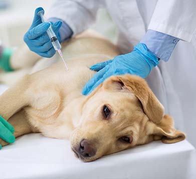Hund liegt beim Tierarzt auf dem Tisch und erhält eine Spritze
